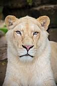 France, Sarthe, La Fleche, La Fleche Zoo, portrait of a white lion, mutant form of the subspecies Panthera leo krugeri