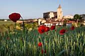 France, Gers, Lavardens, labeled Les Plus Beaux Villages de France (The Most Beautiful Villages of France) cornfield and poppies