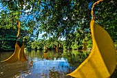 France, French Guiana, Kourou, Wapa Lodge, Wapa seeds on the Kourou River