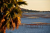 France, Herault, Thau pond, oyster farming, oyster beds to Bouzigues