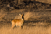 Puku at sunrise,Busanga Plains,Kafue National Park,Zambia