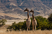 Pair of giraffes (Giraffa camelopardalis),Skeleton Coast National Park,Namibia