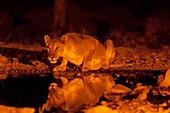 Lioness (Panthera leo) at waterhole,Ongava Game Reserve,near Etosha National Park,Namibia