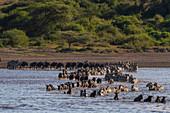 Migrating plains zebras (Equus quagga) and wildebeests (Connochaetes taurinus) crossing lake,Ndutu,Ngorongoro Conservation Area,Serengeti,Tanzania