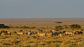 Zeal of plains zebras (Equus quagga),Ndutu,Ngorongoro Conservation Area,Serengeti,Tanzania