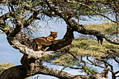 Lioness (Panthera leo) on tree,Ndutu,Ngorongoro Conservation Area,Serengeti,Tanzania