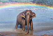 Elephant bathing in stream,Pinnawala elephant sanctuary,Sabaragamuwa Province,Sri Lanka