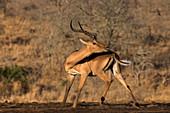 Impala (Aepyceros melampus), Zimanga game reserve, KwaZulu-Natal, South Africa, Africa