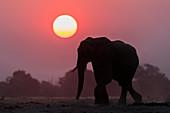 African elephant (Loxodonta africana) at sunset, Chobe National Park, Botswana, Africa