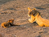 An adult lioness (Panthera leo) with playful cub along the Luangwa River in South Luangwa National Park, Zambia, Africa