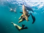 Curious California sea lions (Zalophus californianus), underwater at Los Islotes, Baja California Sur, Mexico, North America