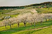 Cherry blossom in Obereggenen, Breisgau, Black Forest, Baden-Wurttemberg, Germany, Europe