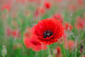 Red poppy, beautiful wild flower portrait, soft light, Peak District National Park, Baslow, Derbyshire, England, United Kingdom, Europe