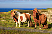 Windswept Shetland Ponies, a world famous unique and hardy breed, cliff tops of Northmavine, Mainland, Shetland Isles, Scotland, United Kingdom, Europe