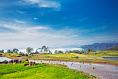 Rice fields in the highlands, Tana Toraja, Sulawesi, Indonesia, Southeast Asia, Asia
