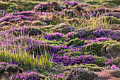 Blooming heathland in the warm evening light on the high plateau of Cap Frehels.