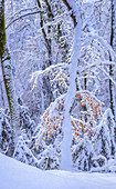 Fresh snow on a sunny winter morning in the beech forest, Bavaria, Germany