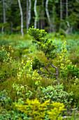 Young pine in summery Murnauer Moos, Murnau, Upper Bavaria, Bavaria, Germany