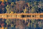 Waldrand am großen Ostersee an einem Herbstmorgen, Iffeldorf, Oberbayern, Bayern, Deutschland
