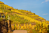 Autumn in the vineyards near Winningen on the Moselle, Rhineland-Palatinate, Germany