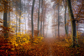 European beech forest in November, forest near Baierbrunn, Bavaria, Germany