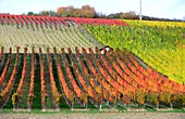 Vineyards near Frickenhausen am Main, Lower Franconia, Bavaria, Germany