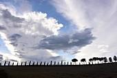 Zypressen, Le Crete bei Pienza, Toskana, Italien