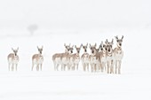 Pronghorns / Gabelböcke / Gabelantilopen ( Antilocapra americana ) in winter, small herd on open snow covered rolling plains of Yellowstone NP, USA.