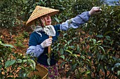 China, Yunnan, Xishuangbanna district, tea tree, tea Picker picking tea leaves