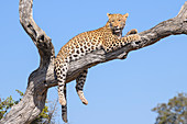Female Leopard (Panthera pardus) resting in a tree, Bushman Plains, Okavango Delta, Botswana, Africa