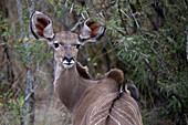 Waterbuck (Kobus ellipsiprymnus), Kruger National Park, South Africa, Africa