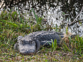 A wild American alligator (Alligator mississippiensis), in Shark Valley, Everglades National Park, Florida, United States of America, North America