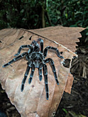 An adult Peruvian pinktoe tarantula (Avicularia juruensis), on the Maranon River, Nauta, Peru, South America