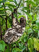Mother and baby brown-throated sloths (Bradypus variegatus), San Francisco, Amazon Basin, Loreto, Peru, South America