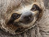Baby brown-throated sloth (Bradypus variegatus), San Francisco, Amazon Basin, Loreto, Peru, South America