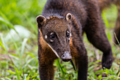 Young South American coati (Nasua nasua), Supay Cano, Rio Ucayali, Loreto, Peru, South America