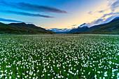 Cotton grass on shores of Lago Bianco, Gavia Pass, Valfurva, Valtellina, Sondrio province, Lombardy, Italy, Europe