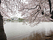 Cherry blossoms, Tidal Basin, and Jefferson Memorial, Washington, DC, United States of America, North America