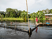 Young girls gathering catfish from the family fishing pen on Rio El Dorado, Amazon Basin, Loreto, Peru, South America