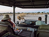 Male lion (Panthera leo) walking near safari vehicle in the Okavango Delta, Botswana, Africa
