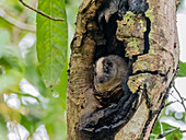 An adult yellow-crowned brush-tailed rat (Isothrix bistriata), on Iricahua Cano, Amazon Basin, Peru, South America