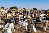 Animal market, Agadez, Niger, West Africa, Africa