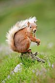 Eurasian Red Squirrel (Sciurus vulgaris), Scotland, United Kingdom, Europe