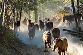 Cowboys herding horses through woods, British Colombia, Canada.
