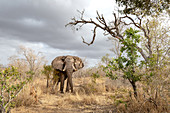 An elephant, Loxodonta africana, stands in dry grass, direct gaze, dark blue cloud sky in the background
