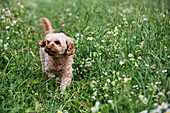 Portrait of a fawn coated young Cavapoo walking in a meadow.