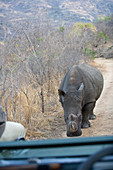 Rhinoceros confronting safari vehicle, Southern Africa.