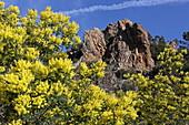 Col de la Cadiere during the mimosa blossom, Mandelieu-la-Napoule, Esterel Mountains, Provence-Alpes-Cote d'Azur, France