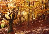 Autumn in the beech forest. Hayedo de Montejo, Sierra del Rincon, Montejo de la Sierra, Madrid province, Spain.
