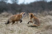 Red Foxes / Rotfuechse ( Vulpes vulpes ), two adults, in fight, fighting, threatening with wide open jaws, attacking each other, wildlife, Europe.